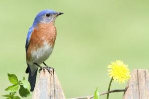 bluebird-300x200